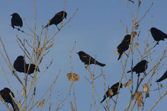 Red-winged blackbird, Agelaius phoeniceus. Flock, New Mexico, USA, winter Stock Photo