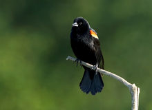 Red Winged Blackbird - Agelaius phoeniceus Royalty Free Stock Images