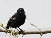 Red-Winged Blackbird (Agelaius phoeniceus) Royalty Free Stock Photos