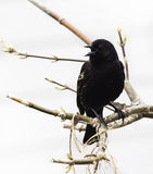 Red-Winged Blackbird (Agelaius phoeniceus) Royalty Free Stock Photo