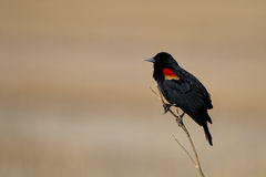 Red-winged Blackbird, Agelaius phoeniceus. Male Red-winged Blackbird in the marsh at Alamosa National Wildlife Refuge in Colorado Royalty Free Stock Photography
