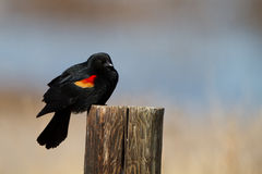 Red-winged Blackbird, Agelaius phoeniceus. Male Red-winged Blackbird in the marsh at Alamosa National Wildlife Refuge in Colorado Royalty Free Stock Images