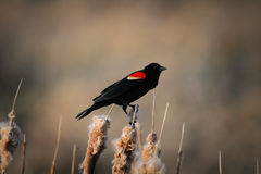 Red-winged Blackbird (Agelaius phoeniceus). Male Red-winged Blackbird, at a prairie wetland, Alberta Canada Stock Photos