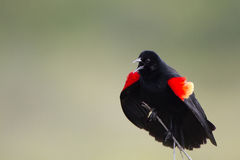 Red-winged Blackbird, Agelaius phoeniceus. Male Red-winged Blackbird sings and flashes his gorgeous epaulets in spring Royalty Free Stock Image