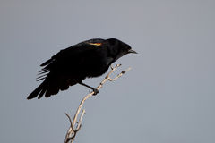 Red-winged Blackbird, Agelaius phoeniceus. Male Red-winged Blackbird stretches his wings in Alamosa National Wildlife Refuge in Colorado Stock Photo