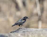 Red-winged blackbird,Agelaius phoeniceus, Stock Photos