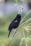 Red-winged Blackbird (Agelaius phoeniceus) Royalty Free Stock Images