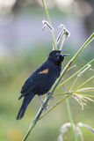 Red-winged Blackbird (Agelaius phoeniceus). Is a passerine bird of the family Icteridae found in most of North and much of Central America Stock Images