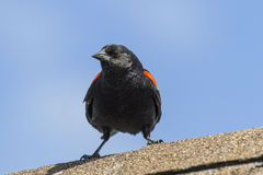 Red-winged blackbird (Agelaius phoeniceus) Royalty Free Stock Photography