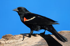 Red-winged Blackbird. (Agelaius phoeniceus) perched on a log Stock Photo