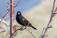 Red-winged blackbird perched on a tree branch royalty free stock photography
