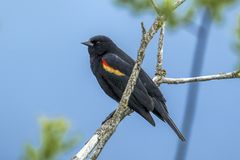 Red winged blackbird on branch. A red winged blackbird Agelaius phoeniceus perched in a tree in Hauser, Idaho Royalty Free Stock Photography