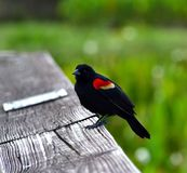 Red Winged Blackbird (Agelaius phoeniceus) Stock Image