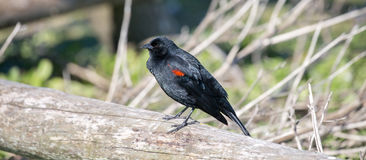 Red-winged Blackbird - Agelaius phoeniceus Stock Images