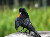 Red-winged Blackbird (Agelaius phoeniceus) Stock Photography