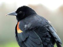 Red-winged Blackbird (Agelaius phoeniceus) Stock Images