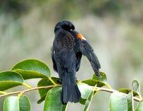 Red-winged Blackbird Agelaius phoeniceus Stock Photo