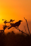 Red-winged Blackbird Agelaius phoeniceus Stock Images