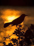 Red-winged Blackbird Agelaius phoeniceus Stock Photography