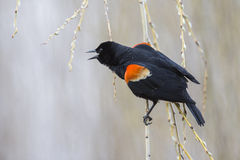 Red winged blackbird Stock Photography