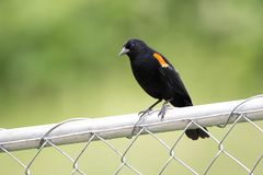 Red winged blackbird Agelaius phoeniceus sitting on the chain fence. stock images