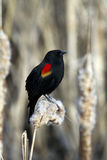 Red Winged Blackbird (Agelaius phoeniceus). Red Winged Blackbird sitting in a marsh Stock Photos