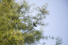 Red-Winged Blackbird & x28;Agelaius Phoeniceus& x29;. Red-winged blackbird in a tree Stock Photo