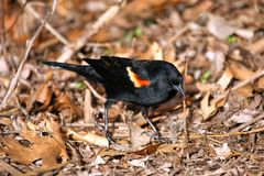 Red-winged Blackbird ,ale Royalty Free Stock Images