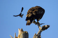 Red-winged blackbird attacks bald eagle Royalty Free Stock Photos