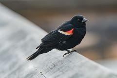 Red-Winged Blackbird  Back for the Summer royalty free stock image