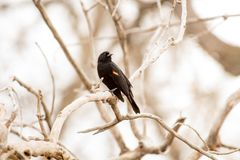 Red Winged Blackbird at Barr Lake State Park royalty free stock photo