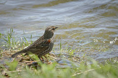 Red-winged blackbird bathing in a river Royalty Free Stock Photography
