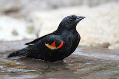 Red-winged Blackbird Bathing in a Shallow Pond Royalty Free Stock Images
