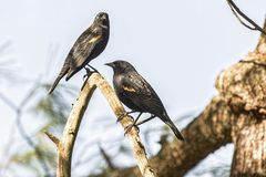 Red-winged Blackbird. Red-winged Blackibirds on a tree branch Stock Photos