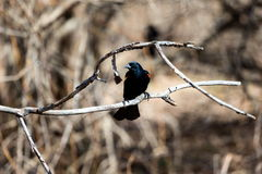 Red Winged Blackbird Royalty Free Stock Images