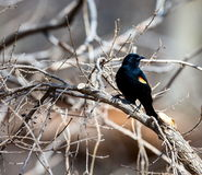 Red Winged Blackbird Royalty Free Stock Photos