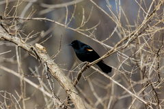 Red Winged Blackbird Royalty Free Stock Image