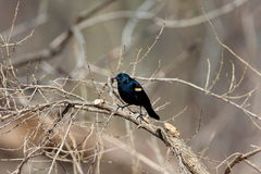 Red Winged Blackbird Royalty Free Stock Photo