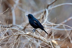 Red Winged Blackbird Stock Photo