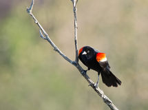 Red-winged blackbird. On a branch Stock Images