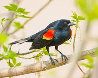 Red-winged blackbird on branch stock images