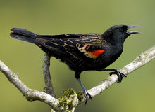 Red Winged Blackbird. With a bright red wing perched on a tree branch royalty free stock photos