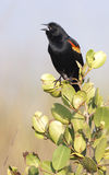 Red-winged Blackbird on bush Stock Photos