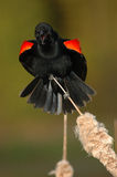 Red-winged Blackbird Call Royalty Free Stock Photos