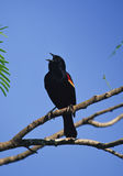 Red Winged Blackbird Calling Royalty Free Stock Photos