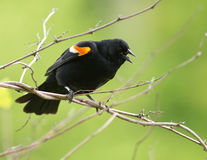Red-winged Blackbird calling. A male Red-winged Blackbird (Agelaius phoeniceus) calling to defend its territory Royalty Free Stock Images
