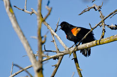 Red-Winged Blackbird Calling While Perched Royalty Free Stock Photography