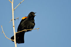 Red-Winged Blackbird Calling While Perched in Tree Stock Photo