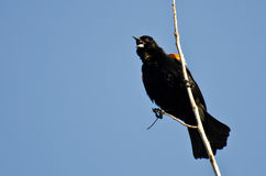 Red-Winged Blackbird Calling While Perched in Tree Royalty Free Stock Photography
