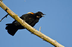 Red-Winged Blackbird Calling While Perched in Tree Royalty Free Stock Photo